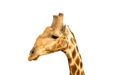 Picture of a giraffe head isolated on white background, seen and shot in namibia, africa.