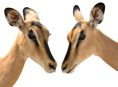 Portrait of Heads of Two Blackfaced Impala isolated on white background. Seen and shot in namibia, africa. Stock Photo
