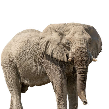 African desert Elephant isolated on white background, seen and shot in namibia, africa. Stock Photo