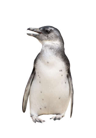 Full body portrait of jackass penguin isolated on white background. Seen and shot in south africa, africa. Stock Photo