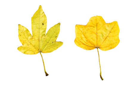wilting: Close-up Photograph of a withering autumnal fig tree leaves isolated on white background in high resolution
