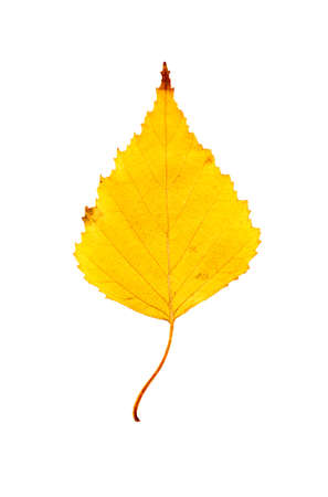 Close-up Photograph of a withering autumnal birch tree leaf isolated on white background in high resolution.