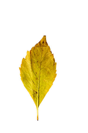 wilting: Close-up Photograph of a withering autumnal leaves isolated on white background in high resolution