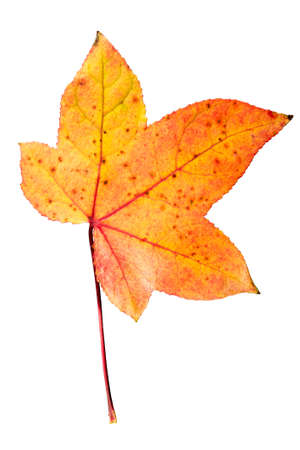 Closeup Photograph of autumnal withering maple tree or acer tree Leaf isolated on white background in high resolution