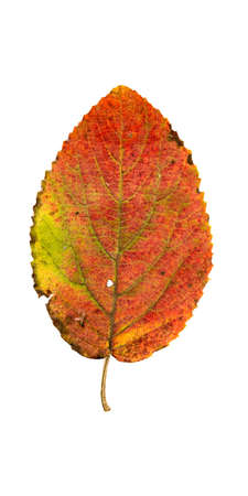 sag: Close-up Photograph of a withering autumnal leaves isolated on white background in high resolution