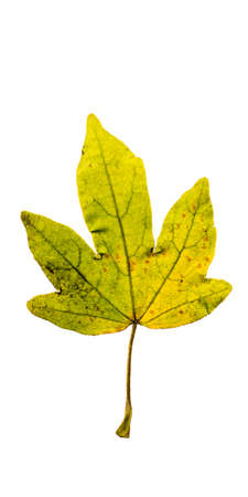 Close-up Photograph of a withering autumnal fig tree leaves isolated on white background in high resolution