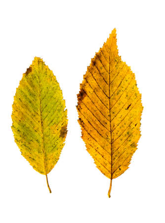 Close-up Photograph of a withering autumnal common beech tree leaves isolated on white background in high resolution