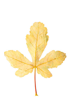 wilting: Closeup Photograph of autumnal withering maple tree or acer tree Leaf isolated on white background in high resolution