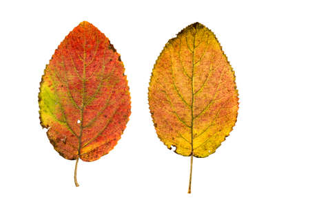 Close-up Photograph of a withering autumnal leaves isolated on white background in high resolution