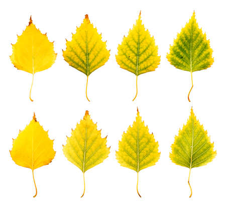 Close-up Photograph of front and backside of withering autumnal birch tree leaves isolated on white background in high resolution