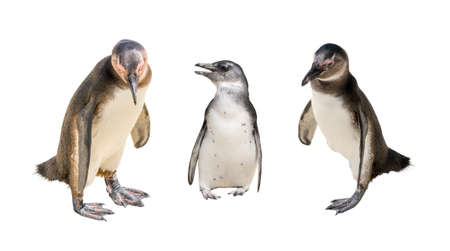 jackass: Set of three pinguin portraits isolated on white background, seen at namibia, africa Stock Photo