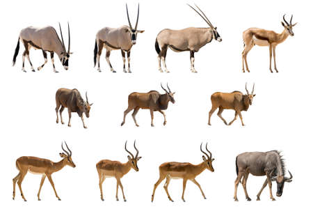 Set of 11 Antelopes isolated on white background. Seen at namibia, africa.