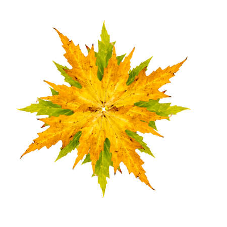 wilting: Close-up Photograph of maple or acer tree arranged as a star isolated on white background