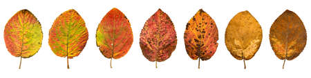 Close-up Photograph of front and backside of  withering autumnal  leaves isolated on white background in high resolution
