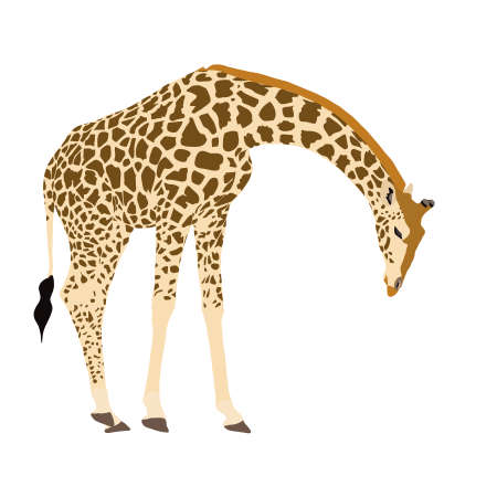 lowering: Giraffe, standing, lowering neck, illustration, illustrated on white background