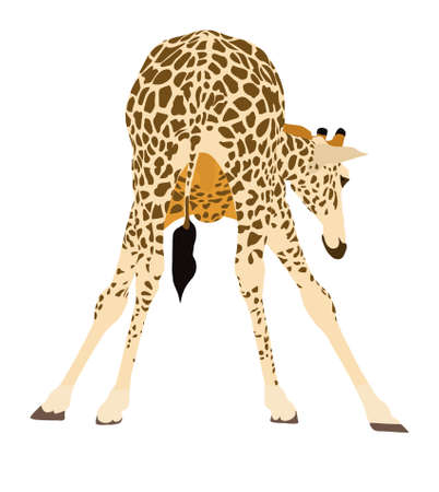 lowering: Portrait of a giraffe preparing to drink, illustration isolated on white background