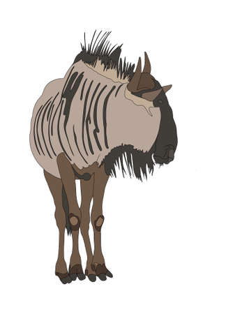 Blue Wildebeest (common wildebeest) from front - digitally hand drawn Illustration isolated on white background Stock Photo