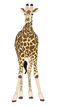 camelopardalis: Giraffe standing front sight - digitally hand drawn Illustration isolated on white background