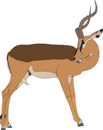 Portrait of a blackfaced impala, standing, head back, side view, hand drawn vector illustration isolated on white background Illustration