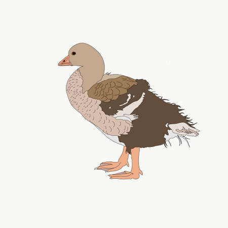 Portrait of a graylag goose chicken, hand drawn vector illustration isolated on white background