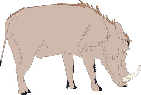 mammalia: Portrait of a standing warthog, hand drawn vector illustration isolated on white background Illustration