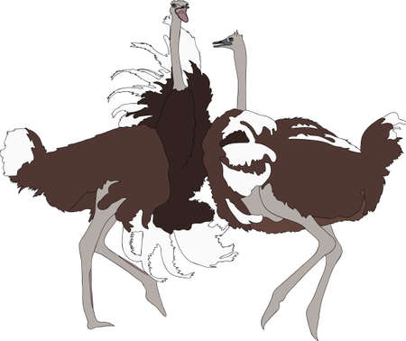 struthio camelus: Portrait of two fighting ostriches - colored hand drawn vector Illustration isolated on white background Illustration