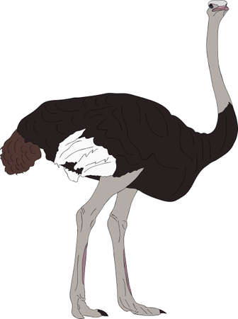 Portrait of a wild ostrich big flightless bird - colored hand drawn vector Illustration isolated on white background