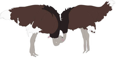 struthio camelus: Portrait of two peaceful ostriches - colored hand drawn vector Illustration isolated on white background