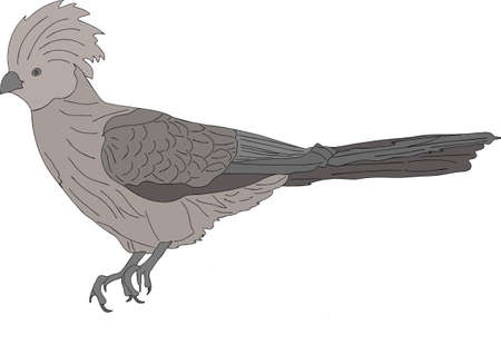 Portrait of a wild bare-faced go-away bird - colored hand drawn vector Illustration isolated on white background Illustration