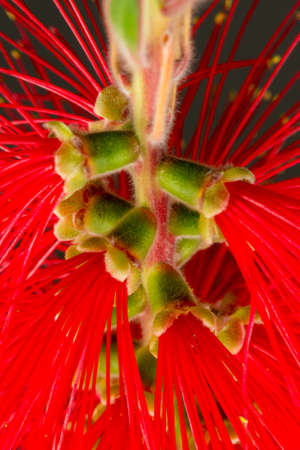 Close-Up of a blooming Bottlebrush plant in front of a gray background