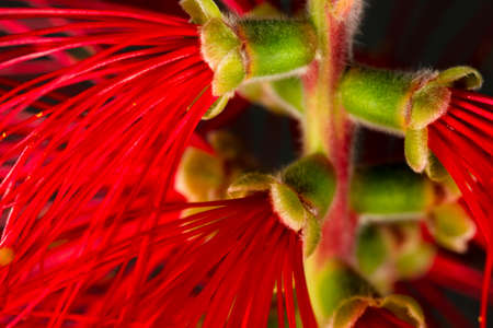 Close-Up of a blooming Bottlebrush plant in front of a black background Stock Photo