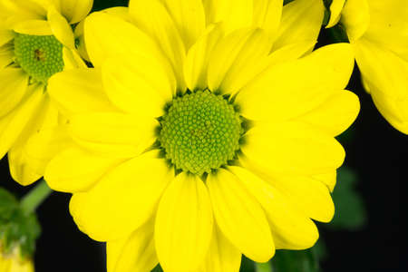 Close-up nog steeds van een gele gemeenschappelijke madeliefje blooming