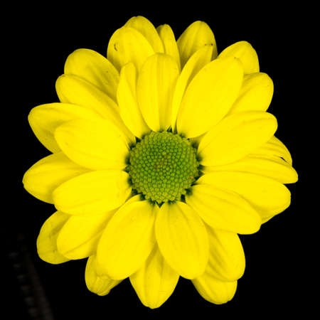 close-up still of a yellow common daisy blooming