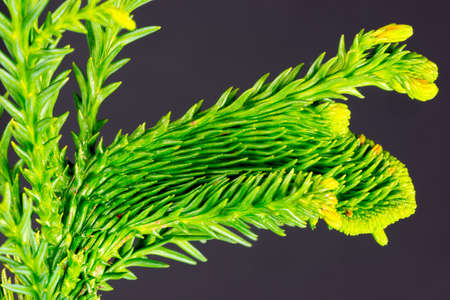 close-up of a branch of a well structured conifer, isolated in front of a dark background Stock Photo