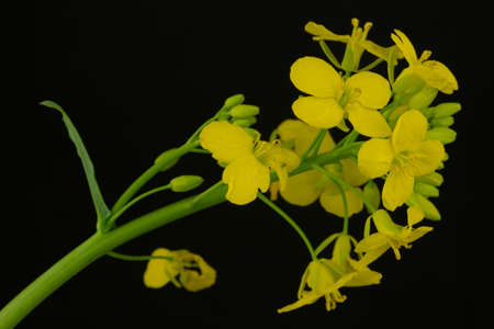 lipid: Close-up Portrait of a blossoming rapeseed - isolated in front of a black background