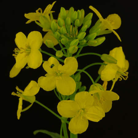 Close-up Portrait of a blossoming rapeseed - isolated in front of a black background