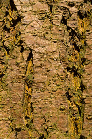close-up of a wooden crust of a living tree, seen in cologne, germany Stok Fotoğraf