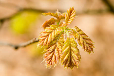 fresh leave of a red oak tree - seen at nature reserve wahner heide near cologne, germany Stock Photo