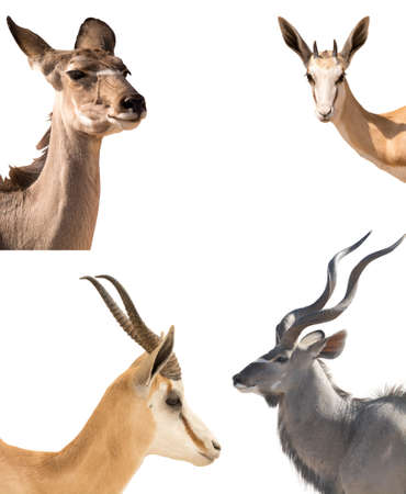 Set of four headshots of different antelopes - kudu, springbok, impala - isolated on white background