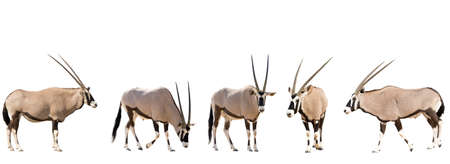 mammalia: Set of five gemsbok in different posing isolated on white background, seen at namibia, africa Stock Photo