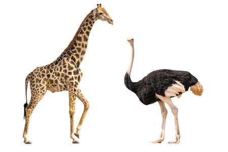 Set van giraffe en struisvogel portretten, geïsoleerd op een witte achtergrond