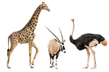 Reeks van oryx, giraf en ostricheportret, op witte achtergrond wordt geïsoleerd die Stockfoto