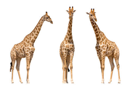 Set of three giraffes seen from front, isolated on white background 스톡 콘텐츠