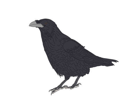 Digitally Handdrawn Illustration of a wildlife crow solated on white background