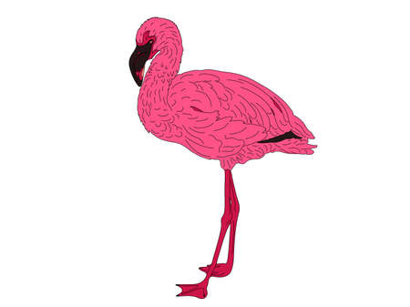 Digitally Handdrawn Illustration of a wildlife pink flamingo isolated on white background Ilustração