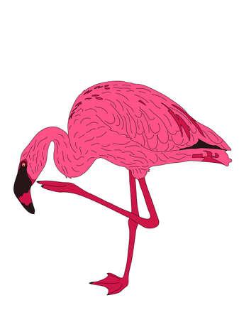 Digitally Handdrawn Illustration of a wildlife pink flamingo isolated on white background Illustration