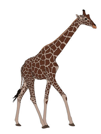Digitally Handdrawn Illustration of a wildlife giraffe isolated on white background