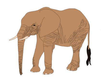 Digitally Handdrawn Illustration of a wildlife desert elephant isolated on white background Illustration