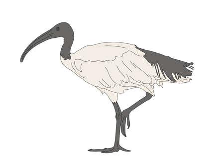 Digitally Handdrawn Illustration of a wildlife sea bird isolated on white background