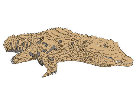 Digitally Handdrawn Illustration of a wildlife crocodile --- isolated on white background